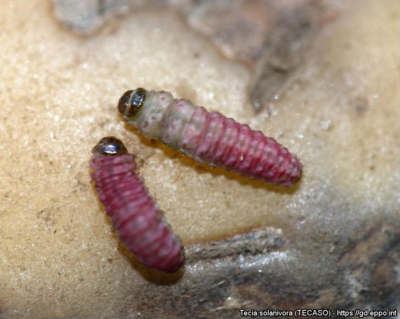 Larvae of Tecia solanivora in the 4º stage