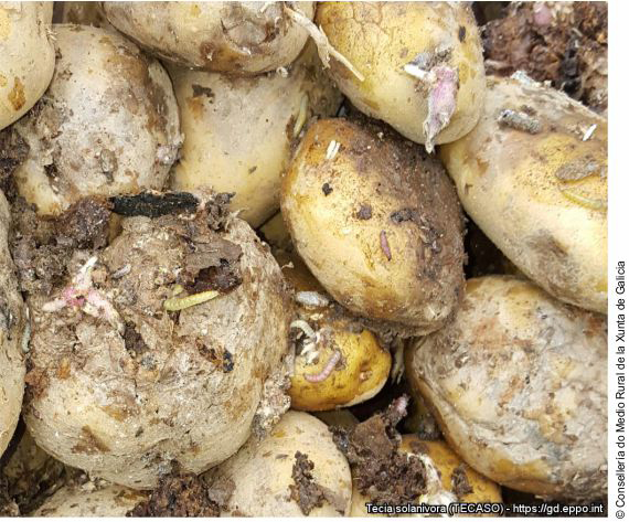 Damaged potatoes and Tecia solanivora larvae